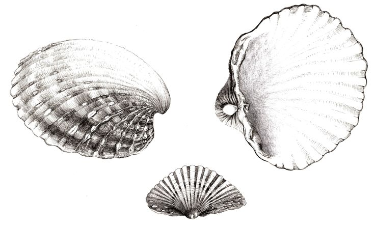 Dessin de coquillage shell drawing coquillage pinterest drawings shell drawing and shells - Dessin coquillage ...