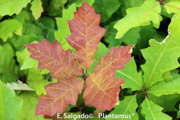 roble americano, Quercus rubra. acercandose al otoño. http://www.plantamus.es/venta-de-arboles-plantacion-plantones/frondosas/comprar-roble-americano