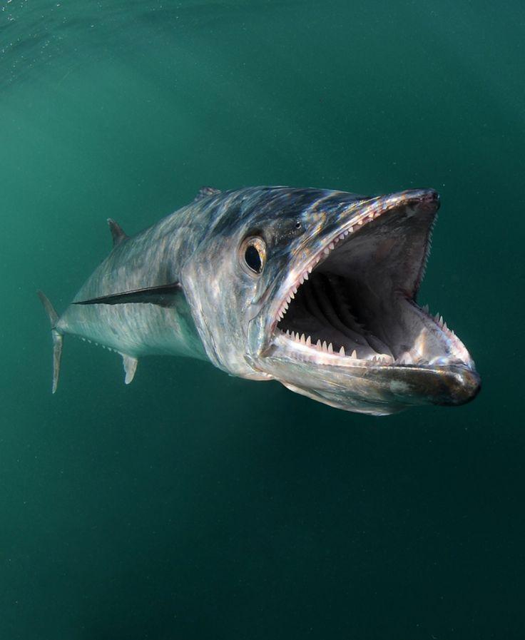 Kingfish (King Mackerel)