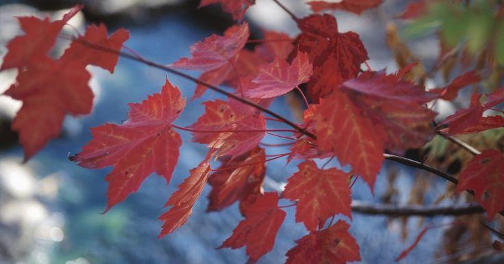 Cómo plantar un arce real de hojas rojas. Planta un arce real de hojas rojas (Acer platanoides) para lograr un brillante color otoñal sin requerir de excesivo mantenimiento o desorden. El arce real tiene un follaje granate a lo largo de todo el verano. Estos arces majestuosos pueden superar los 50 pies (15,2 m) de altura, y se extienden alrededor de 25 a 30 pies (7,6 a 9,1 m). Son típicos ...