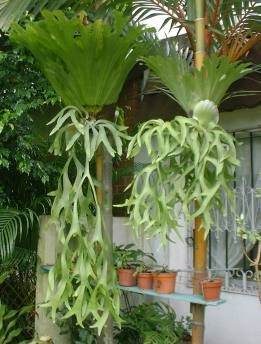 Staghorn Ferns .. I grow these wonderful ferns as an indoor plant and put them on the patio for the summer in a cool somewhat shaded area.