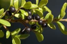 Japanese holly picture: 'Hetzii.' As the picture shows, Hetzii holly has black berries. - David Beaulieu