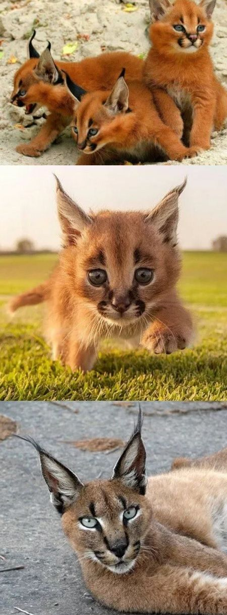 This Wild Cat Is Called A Caracal The Highest Longest Jumper In Entire Catfamily When Compare Terms Of Size