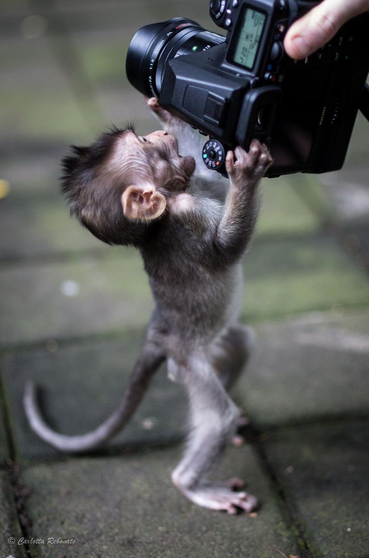 "Baby monkey attack! by Carlotta Rebonato on 500px ""Let me see! Did I blink? Is my smile okay?"""