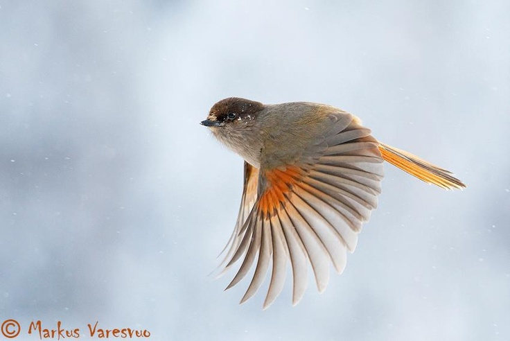 Siberian Jay in flight taken in Kuusamo Finland February 2006.