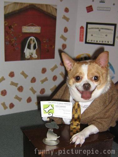 a corgi chihuahua mix -- business dog costume