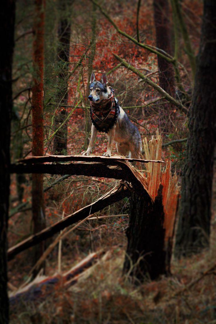Czechoslowacki Wilczak - Barchiel Wilczy Duch   -- http://www.wolfdog.org/pl/dbase/d/16891