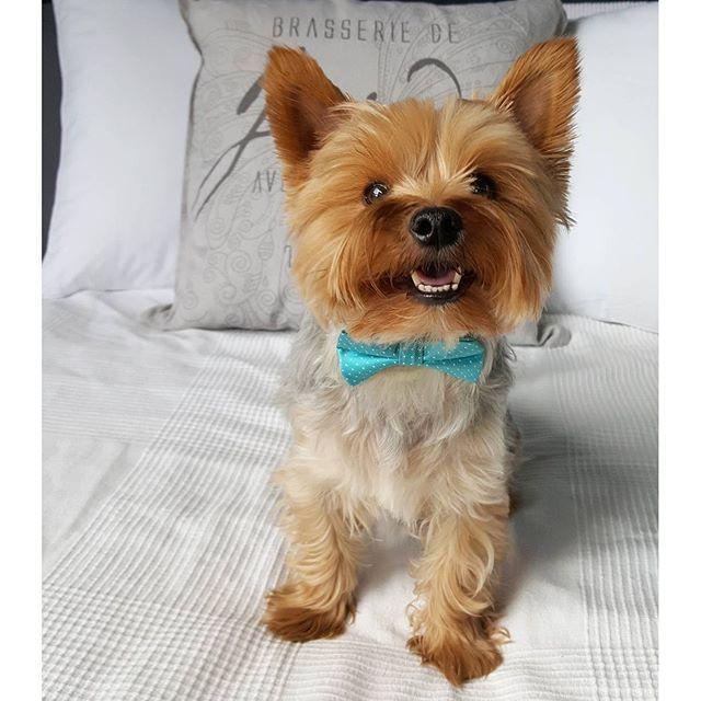 Little sunshine #littleyorkierufus #rufus #yorkie #yorkshireterrier #dog #littledog #instayorkie #yorkiesofinstagram #furball #dogpics #dogphotography #cutie #dogstagram #yorkielove #yorkki #terrier #terrieri #yorkshirenterrieri #cutedog #yorkiestagram