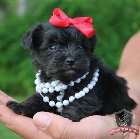 Schnauzer puppy - Ava Clair