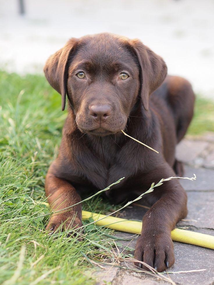 Labrador puppy http://fc-foto.de/29523164