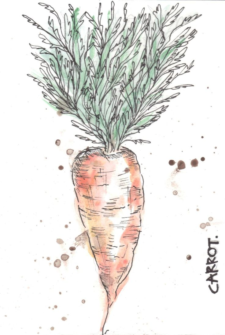 Carrot water colour paint and fine liner study
