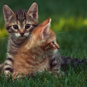 """""""We quickly discovered that 2 kittens were much more fun than one."""" --Alan Lacey"""