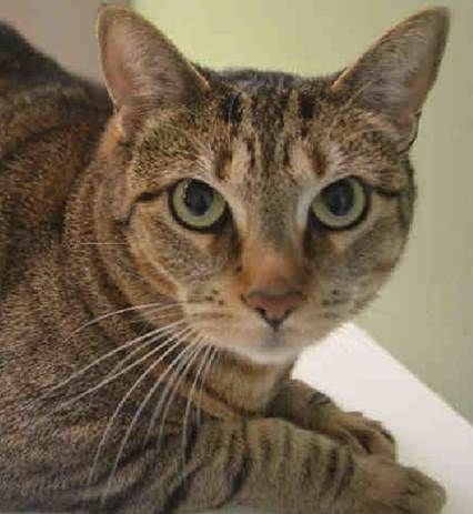 SAGE - A0917093 - - Manhattan  ***TO BE DESTROYED 10/11/16*** SAGE IS A HANDSOME BOY WHO WAS RETURNED TO ACC BECAUSE OWNER CAN'T PAY FOR HIS MEDICAL. How sad that the ACC couldn't do anything to help this poor cat stay with his owner. SAGE was adopted 5 years ago from the shelter and his owner recently took him to the vet and found him to have kidney stones. SAGE is neutered and a friendly cat. He lived with a 10 yr old child and loved to follow them around. SAG