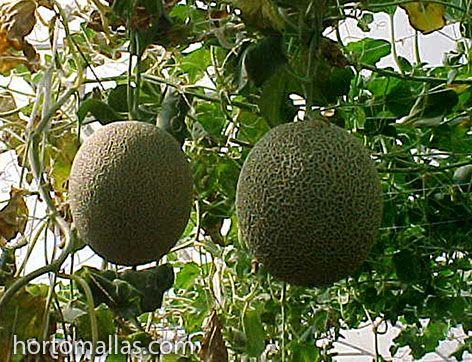 una espaldera los melones puedan crecer libremente sin necesidad de ser volteados y sin manchas del piso.