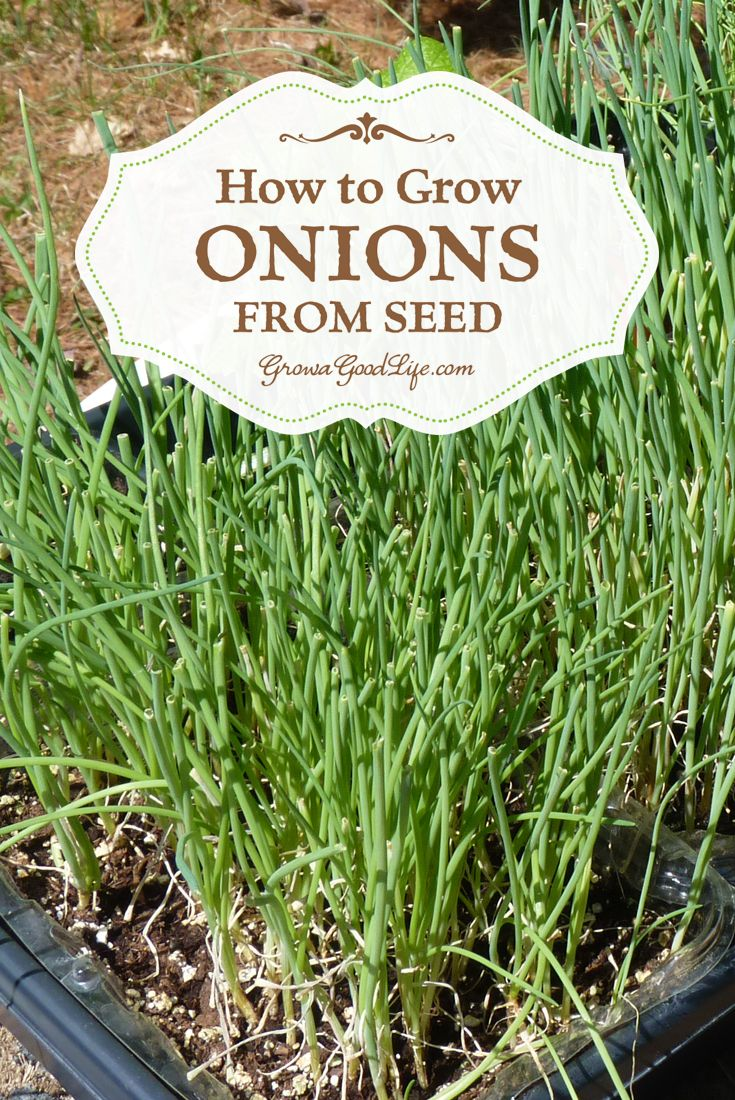 How to Grow Onions from Seed | Grow a Good Life | Onions can be planted from transplants, sets, or started from seed inside under grow lights. I collected seed last year from onions I left in the ground that flowered. Gonna give this a try!