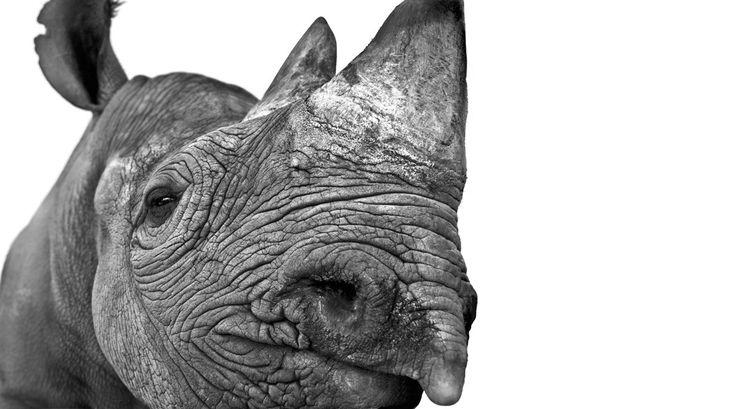 rhino,  by Andrew Shek  http://elephantart.blogspot.it/