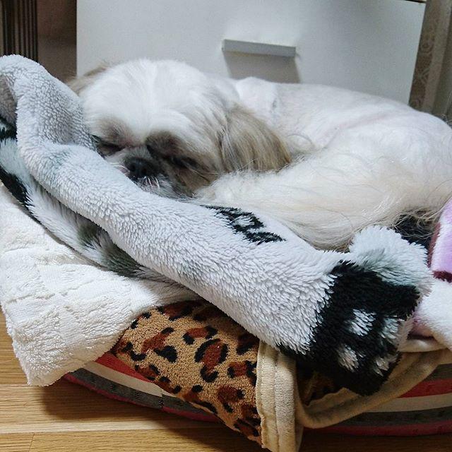 愛犬ニッキーの毛布。 片付けようか?悩みながら~😅 ニッキーのベッド?に積み上げて~。 高い所、どこまで上がってくれるかと✨ 試し中。階段、上がらないからね~😅 ダイエット中で、6.7から6.2になりました❤ 寒天のおやつ好きみたい~(笑) 簡単に作れてヘルシー 食事は、おから入り~。 #愛犬#シーズー#娘ワンちゃん#家族#dog#shihtzu #shihtzulove