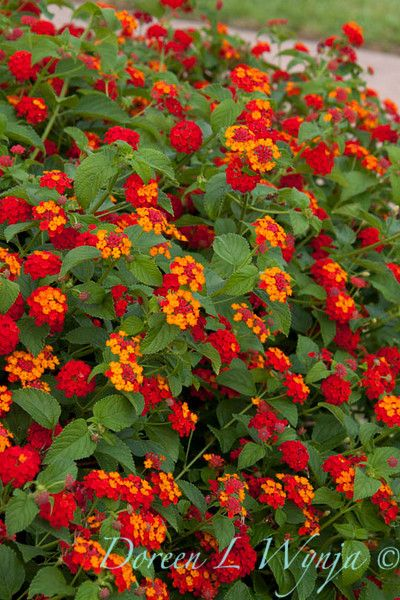 Lantana Radiation Google Search Landscaping Lantana