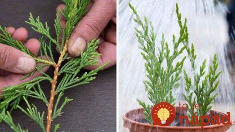 Drahé ihličnany nemusíte kupovať: Takto jednoducho si ich môžete rozmnožiť u vás doma!
