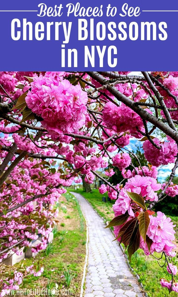 A Complete Guide To Japan S Cherry Blossoms With A Map Why Japan S Cherry Blossoms Should Be On Your Bucket List Cherry Blossom Japan Cherry Blossom Japan