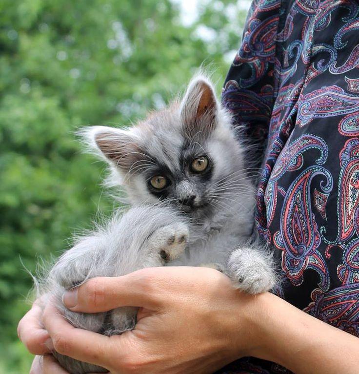 Throwback Thursday! This is Murmur back in May 2015. ❤️❤️  #murmur #kittie #kittens  #darkmaskedcats  #mask  #cat #cats #throwbackthursday #throwback #sweet #little #puspus #meow #ilovecats  #ilovemycat  #mycat  #mybaby #crazycatlady #❤️  #