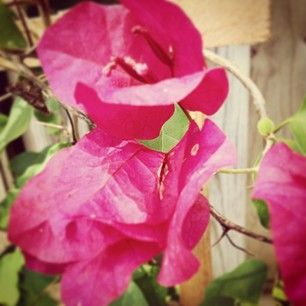 photo by allthingssuzette - Bougainvillea in Boom  #botanical #bouganvillea #karst #garden #suzette