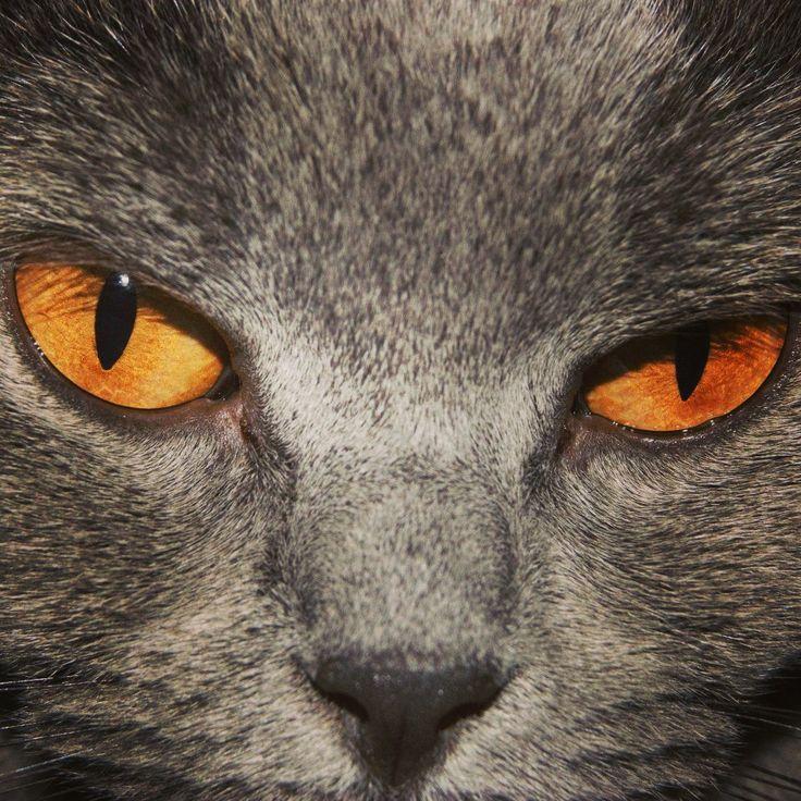 My kartäuser cat Lily :) she has amazing orange eyes! Hasn't she?! I really love her