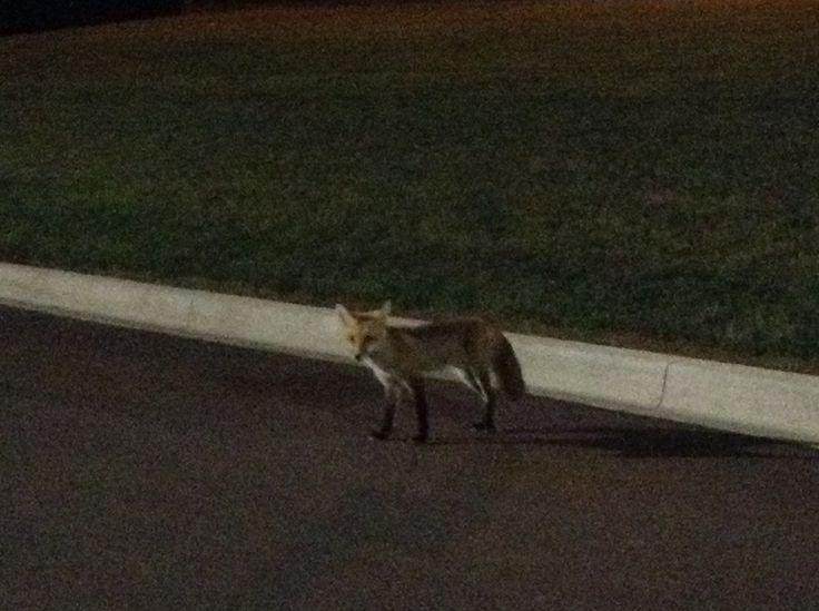A cute little fox at the Charlottetown airport.