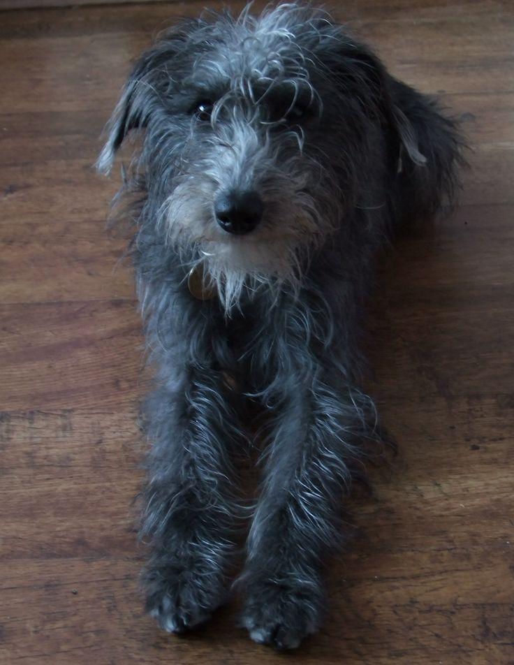 C. Joyfulfluff Tilly lurcher Whiplington Whippet x bedlington terrier