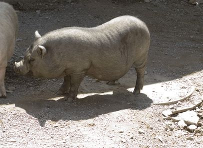 How to Make Clothing for Potbelly Pigs