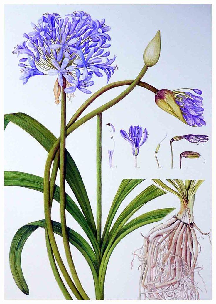 Les 34 meilleures images du tableau agapanthes sur for Botanic fleurs artificielles