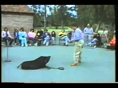 World's First Pot Bellied Pig Obedience Class - Full Version Part 1 - YouTube