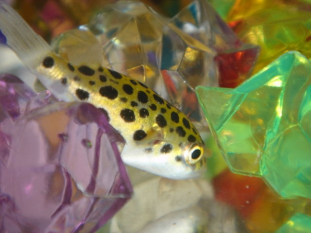 226 best images about something fishy here on pinterest for Cute freshwater fish