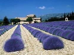 Lavender field in Tihany.
