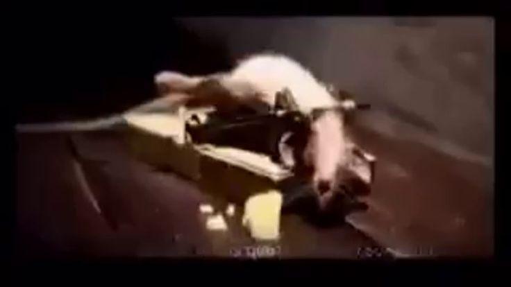 Trampa para ratas 老鼠陷阱