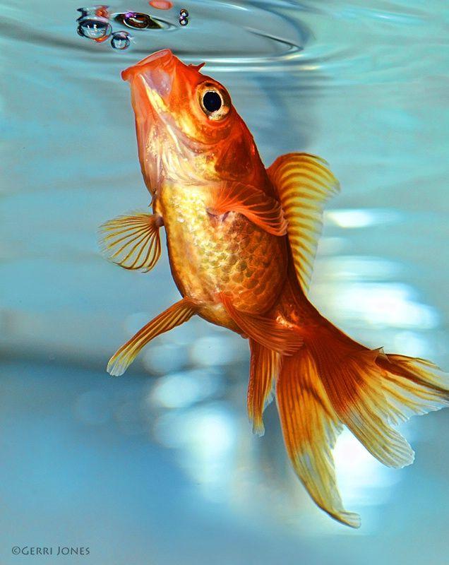 Best 10 Koi Fish Food Ideas On Pinterest Koi Painting