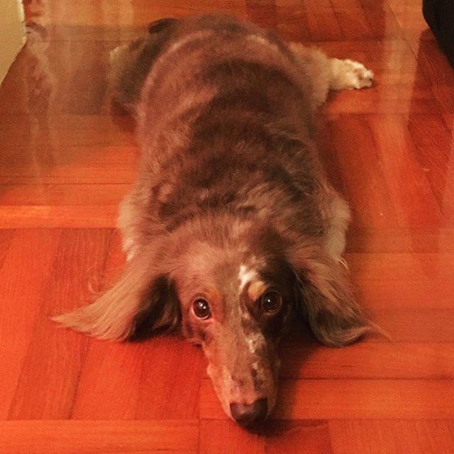 TGIF! #animalphotos #愛犬家 #bambi #ilovemydogs #dappledachshund #ダックスフンド #ミニチュアダックス #愛犬家 #愛犬 #わんこ #シニア犬#dappledachshund #longhairdachshund #犬 #dachshund #doxie #dachshundsofinstagram #hotdog #dachshundlovers #miniaturedachshund #sausagedogs #hotdogs #dachshundpuppy #doxielovers #wienerdog #instadog #dogofinstagram #dogsofinstagram #puppyoftheday #hongkongdogs