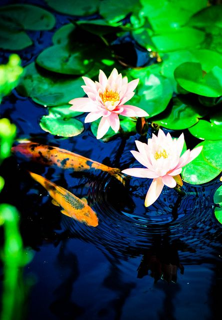 17 best images about lotus grows in the mud on pinterest for Koi fish pond lotus