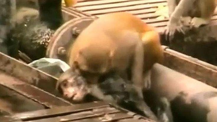 Un singe devient le héros du web pour avoir réanimé un congénère électrocuté <3