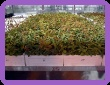 Haskap plants from Haskap Central Sales Ltd., U of S Cultivars, Saskatchewan CANADA