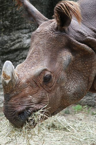Sometimes you just get desperate. In a last-ditch effort to help save the Sumatran rhino (Dicerorhinus sumatrensis) from extinction, the Cincinnati Zoo has gathered together the last two members of the species in North America and will now attempt to get them to mate. There's just one catch: the rhinos are brother and sister. Image:  Mark Dumont, Flickr