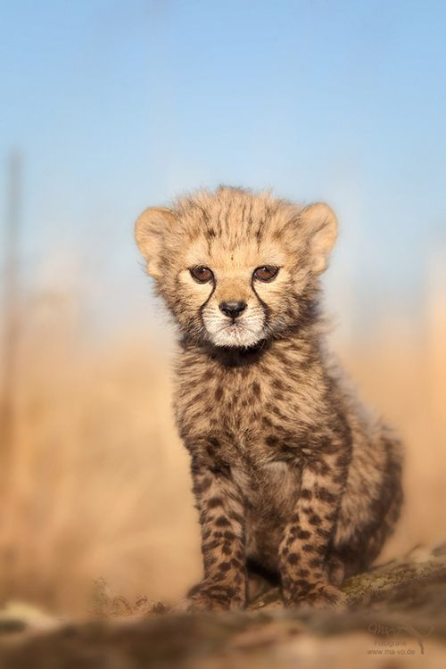 Best Cheetah Images On Pinterest Wild Animals Big Cats And - Cheetahs can be so shy that zoos give them emotional support dogs