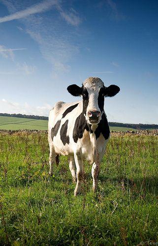 Een koe in een weiland. Meer over koeien? Ga naar http://www.milkstory.nl/artikel/fotoblog-koe-rijden