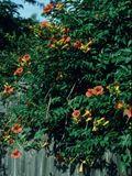 NPIN: Campsis radicans (Trumpet creeper)
