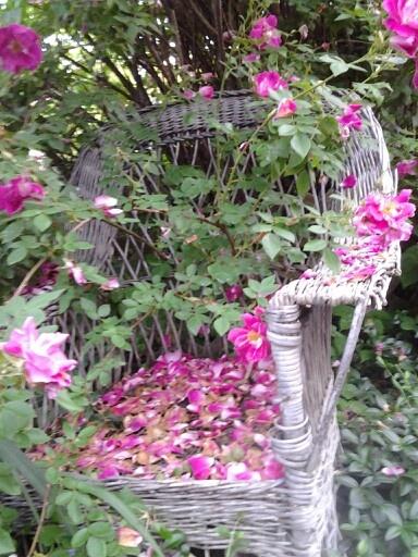 Old Wicker Chair Under The Rose Bush Plants Gardens