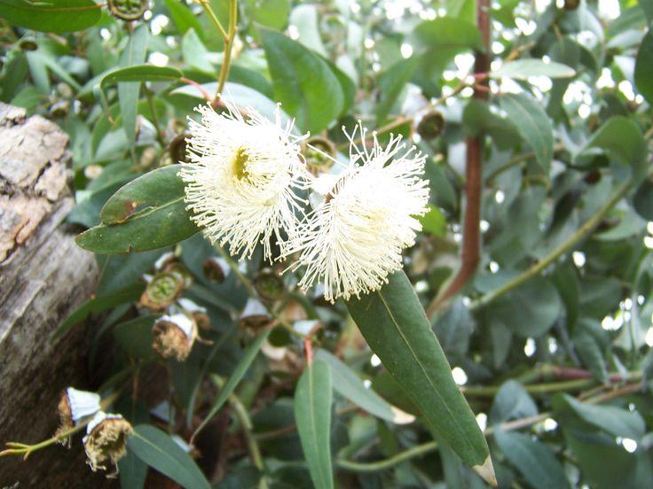 Eucalipto!!!..no solamente me encantan y son sus ramas, hojas que más me acompañan siempre, si no que son el alimento preferido de los Koalas, seres tiernos y preciosos!!!