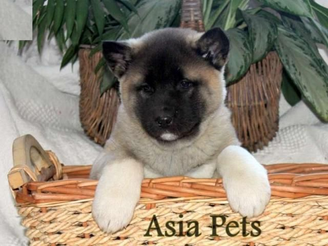 Akita Puppies Price In Chennai Akita Puppies For Sale In Chennai In 2020 Akita Puppies Akita Puppies For Sale Puppies For Sale