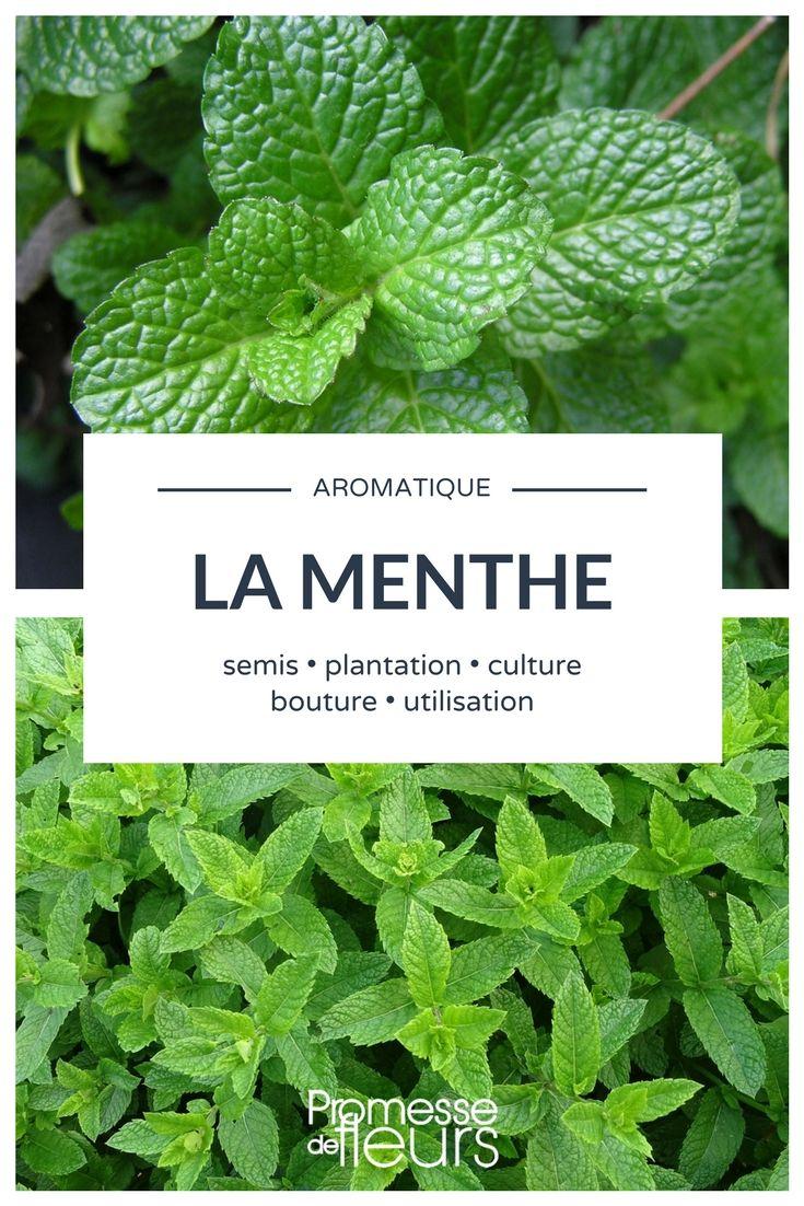 cultiver la menthe, au potager ou en pot #aromatique #menthe #potager