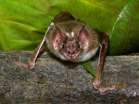 Desmodus rotundus  Credit: Pascual Soriano   The vampire bat, Desmodus rotundus, must find a blood meal every one to two days to survive. Razor-sharp teeth and infrared-sensing 'pit organs' surrounding its nose help the bat achieve this goal.
