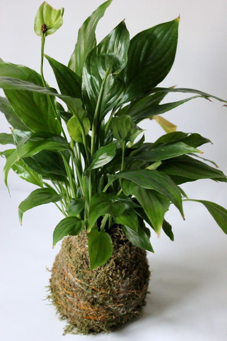 134 best peace lily images on pinterest peace lily lilies and kokedama spathiphyllum balcony plantspeace lilybonsaigiftdoflowersprojects dhlflorist Gallery